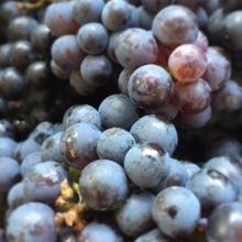 Buffalo Creek Berry Farm grapes