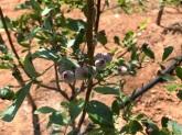 Blueberries - community garden
