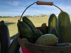 Cucumbers - community garden